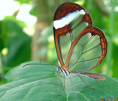 See-through butterfly - durchsichtiger Schmetterling - lucent, limpid, diaphragmatic, transparent