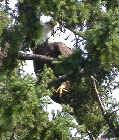 bald-eagle-Weisskopfseeadler-im-Baum-Lake-of-the-Woods-Kenora-Ontario-Canada-Kanada-DSCN8322.jpg