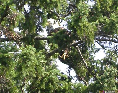 bald-eagle-Weisskopfseeadler-im-Baum-Lake-of-the-Woods-Kenora-Ontario-Canada-Kanada-DSCN8324.jpg