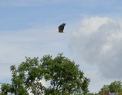 bald-eagle-Weisskopfseeadler-im-Flug-Lake-of-the-Woods-Kenora-Ontario-Canada-Kanada-DSCN8331.jpg