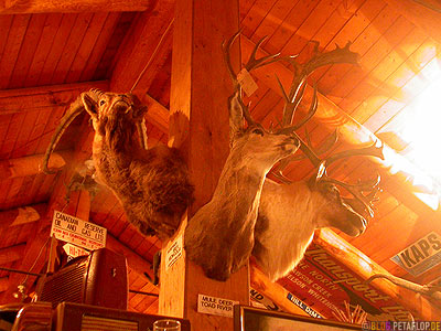 Big-Game-Animal-Heads-Wild-Tierkoepfe-Heritage-Museum-Fort-Nelson-Alaska-Highway-British-Columbia-Canada-Kanada-DSCN9997.jpg