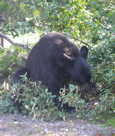 Black-Bear-wild-animal-aighting-Schwarzbaer-Sichtung-Lake-Louise-Banff-National-Park-Rocky-Mountains-Alberta-Canada-Kanada-DSCN9391.jpg