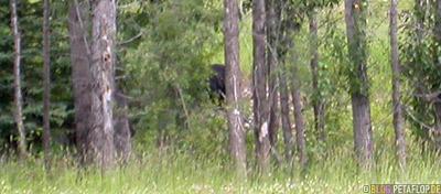 Blackbear-Schwarzbaer-Alaska-Highway-British-Columbia-Canada-Kanada-DSCN0055.jpg