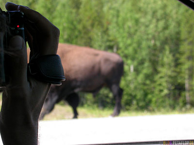 Buffalo-on-road-videotaped-amerikanischer-Bison-Bueffel-auf-dem-gefilmt-Highway-Alaska-Highway-Yukon-Canada-Kanada-DSCN0310.jpg