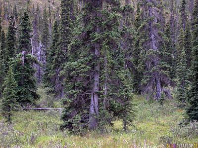coniferous-wood-woods-Forest-Wald-Nadelholz-Northern-Rocky-Mountains-Alaska-Highway-British-Columbia-Canada-Kanada-DSCN0105.jpg
