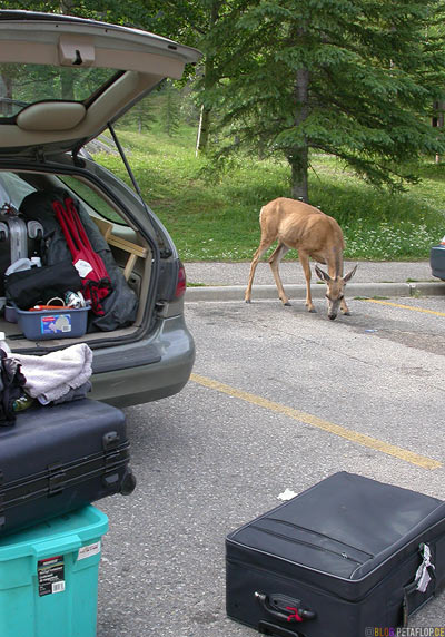 Deer-female-Reh-Miette-Hot-Springs-Ford-Taurus-Station-Wagon-Kombi-Luggage-Koffer-Parking-Lot-Parkplatz-Rocky-Mountains-Jasper-National-Park-Alberta-Canada-Kanada-DSCN9789.jpg