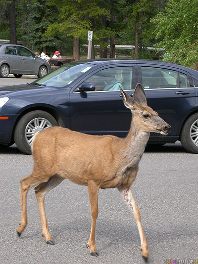 Deer-female-Reh-Miette-Hot-Springs-Parking-Lot-Parkplatz-Rocky-Mountains-Jasper-National-Park-Alberta-Canada-Kanada-DSCN9786.jpg