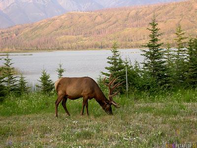 Elk-Wapiti-nordamerikanischer-Hirsch-Rocky-Mountains-Jasper-National-Park-Alberta-Canada-Kanada-DSCN9721.jpg