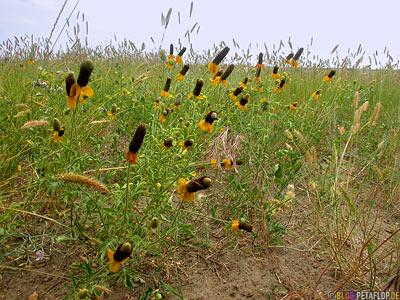 Feldblumen-Field-Flowers-Carmichael-Saskatchewan-Canada-Kanada-DSCN8889.jpg