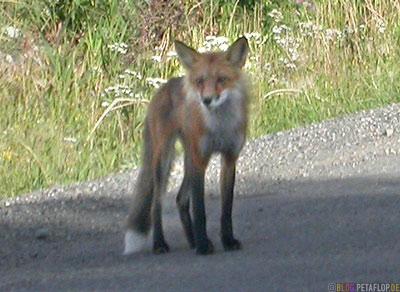 Fox-Fuchs-Klondike-Highway-Carmacks-Yukon-Canada-Kanada-DSCN0567.jpg