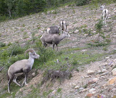 Goats-Ziegen-Northern-Rocky-Mountains-Alaska-Highway-British-Columbia-Canada-Kanada-DSCN0113.jpg