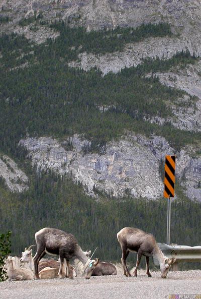 Goats-Ziegen-Northern-Rocky-Mountains-Alaska-Highway-British-Columbia-Canada-Kanada-DSCN0130.jpg