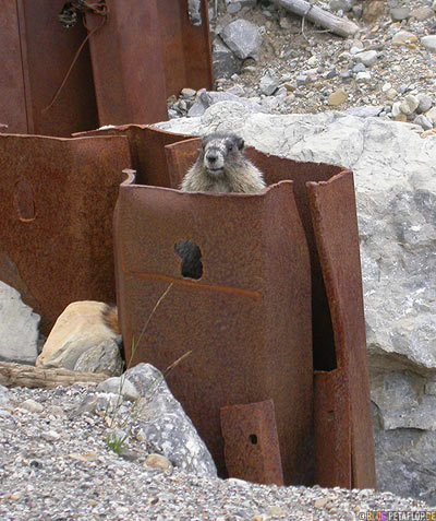 Hoary-Marmot-whistler-Murmeltier-Animal-Wildlife-Northern-Rocky-Mountains-Alaska-Highway-British-Columbia-Canada-Kanada-DSCN0109.jpg