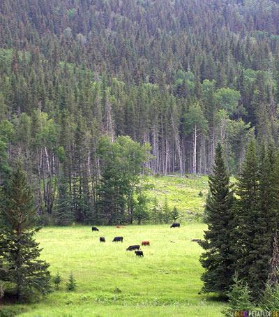 Karl-May-Cows-grazing-Cattle-weidende-Kuehe-Cypress-Hills-Zypressenhuegel-Saskatchewan-Canada-Kanada-DSCN8952.jpg