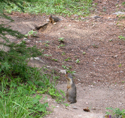 Lake-Louise-Columbia-Ground-Squirrel-Banff-National-Park-Rocky-Mountains-Alberta-Canada-Kanada-DSCN9288.jpg