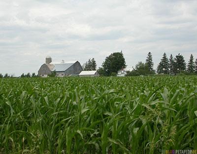 Maisfeld-Farm-Farmhaus-Scheune-Shed-Corn-Field-Germans-Deutsche-Mennonites-Mennoniten-Ontario-Canada-Kanada-DSCN7855.jpg
