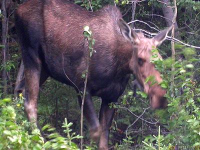 Moose-female-weiblicher-Elch-Northern-Rocky-Mountains-Alaska-Highway-British-Columbia-Canada-Kanada-DSCN0192.jpg