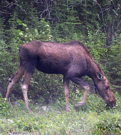 Moose-female-weiblicher-Elch-Northern-Rocky-Mountains-Alaska-Highway-British-Columbia-Canada-Kanada-DSCN0197.jpg