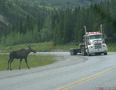Moose-Truck-Elch-Lastwagen-Alaska-Highway-British-Columbia-Canada-Kanada-DSCN0085.jpg