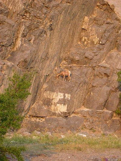 Mufflon-Bighorn-Sheep-Dickhornschaf-Schaf-Rocky-Mountains-Jasper-National-Park-Alberta-Canada-Kanada-DSCN9732.jpg