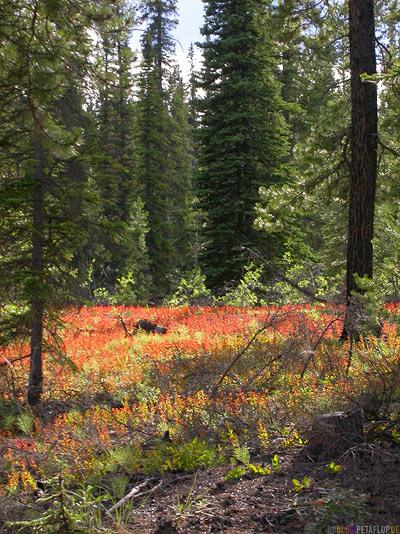 Red-weed-rotes-Gras-Forest-Woods-Wald-Abendsonne-evening-sun-Swan-Lake-Yukon-Canada-Kanada-DSCN0491.jpg