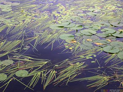 Water-Lilies-Lily-See-Seerosenteich-Lake-Pond-Blind-River-Ontario-Canada-Kanada-DSCN7934.jpg