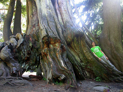 Ancient-Tree-Stanley-Park-Vancouver-BC-British-Columbia-Canadaq-Kanada-DSCN3243.jpg