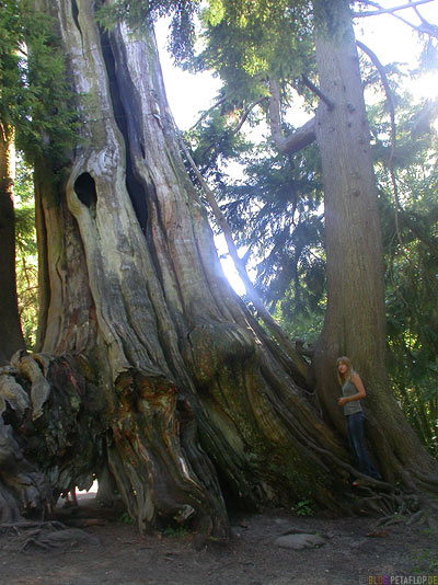 Ancient-Tree-Stanley-Park-Vancouver-BC-British-Columbia-Canadaq-Kanada-DSCN3245.jpg