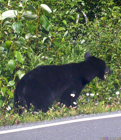 Black-Bear-blackbear-Schwarzbaer-Highway-37a-Stewart-BC-British-Columbia-Canada-Kanada-DSCN2580.jpg