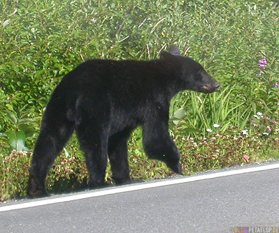 Black-Bear-blackbear-Schwarzbaer-Highway-37a-Stewart-BC-British-Columbia-Canada-Kanada-DSCN2581.jpg