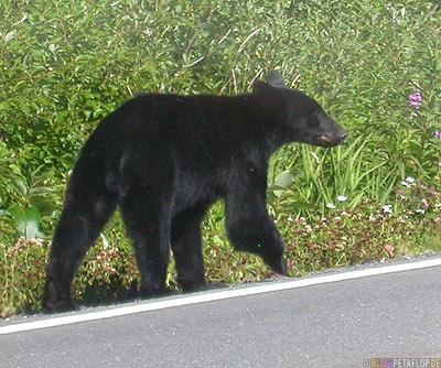 Black-Bear-blackbear-Schwarzbaer-Highway-37a-Stewart-BC-British-Columbia-Canada-Kanada-DSCN2581.jpg