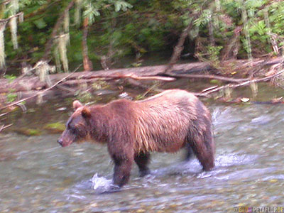 brownbear-coastal-bear-Braunbär-River-Fish-Creek-Wildlife-Observation-Site-Hyder-Alaska-USA-DSCN2480.jpg