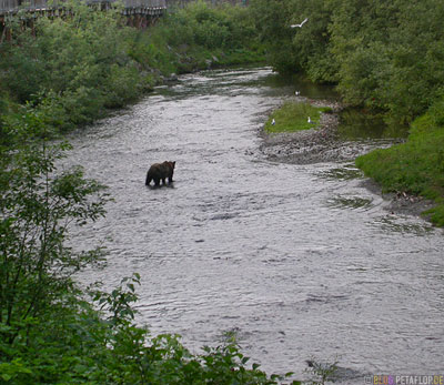 brownbear-coastal-bear-Braunbär-River-Fish-Creek-Wildlife-Observation-Site-Hyder-Alaska-USA-DSCN2485.jpg