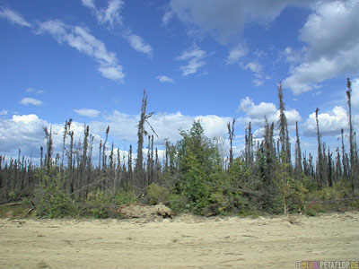 burned-woods-verbrannter-Wald-Klondike-Highway-to-Dwason-City-Yukon-Canada-Kanada-DSCN0630.jpg