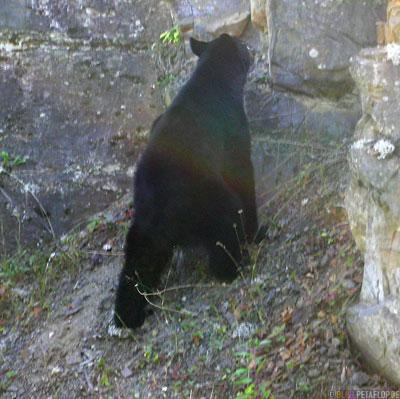 climbing-kletternder-Black-Bear-blackbear-Schwarzbaer-Highway-37a-Stewart-BC-British-Columbia-Canada-Kanada-DSCN2595.jpg