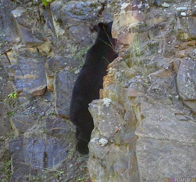 climbing-kletternder-Black-Bear-blackbear-Schwarzbaer-Highway-37a-Stewart-BC-British-Columbia-Canada-Kanada-DSCN2596.jpg