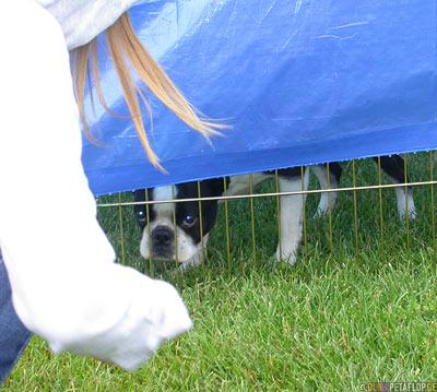 Dog-Show-Competition-Hundeschau-Boston-Terrier-Palmer-Alaska-USA-DSCN1480.jpg