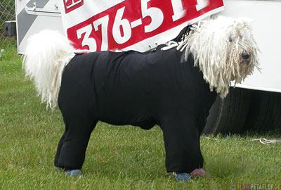 Dog-Show-Competition-Hundeschau-Wettkampf-poodle-Puli-Alaska-USA-DSCN1467.jpg