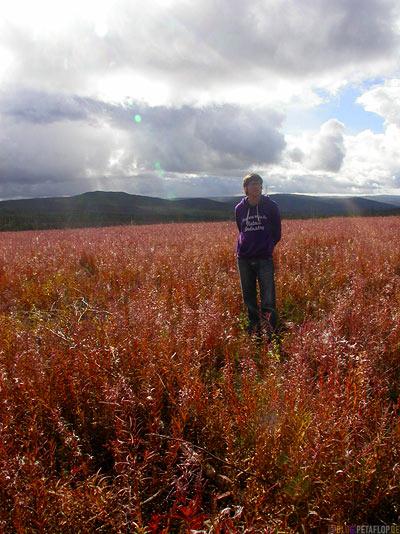 Faded-Fireweed-Fairbanks-to-Arctic-Circle-Nordpolarkreis-Dalton-Highway-to-Prudhoe-Bay-Alaska-USA-DSCN1034.jpg
