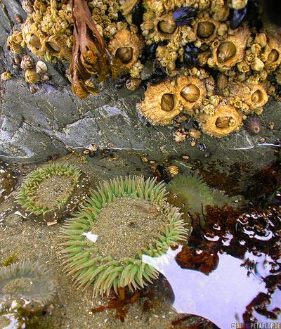 Giant-Green-Anemone-Gruene-Seeanemone-Pacific-Rim-National-Park-near-Tofino-Beach-Vancouver-Island-BC-British-Columbia-Canada-Kanada-DSCN3121.jpg