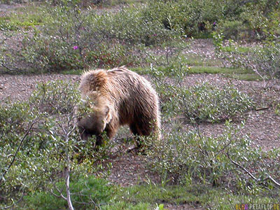 Grizzly-Bear-Baer-Braunbaer-Grizzlybaer-Brown-Bear-Fish-Creek-Shuttle-Bus-Denali-National-Park-Nationalpark-Alaska-USA-DSCN1206.jpg