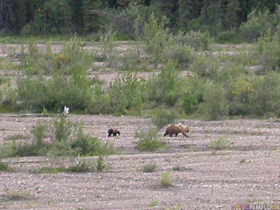 Grizzly-Bear-with-Cub-Baer-Braunbaer-Grizzlybaer-Baerin-mit-Jungem-Baerenjunges-Brown-Bear-Fish-Creek-Shuttle-Bus-Denali-National-Park-Nationalpark-Alaska-USA-DSCN1248.jpg
