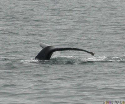 Humpback-whale-fluke-Buckelwal-Walschwanzflosse-Stan-Stephens-Glacier-Cruise-Prince-William-Sound-Valdez-Alaska-USA-DSCN1635.jpg