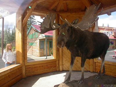 Mounted-Moose-ausgestopfter-Elch-Visitor-Information-Gift-Shop-Tok-Alaska-USA-DSCN2185.jpg