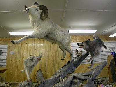 Mounted-wolve-bighorn-sheep-ausgestopft-Wolf-Dickhornschaf-Visitor-Information-Gift-Shop-Tok-Alaska-USA-DSCN2186.jpg