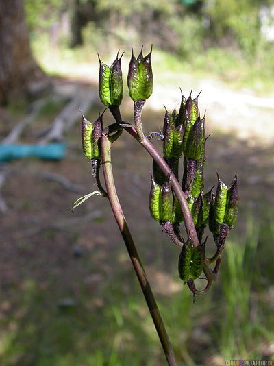 odd-plant-merkwuerdige-Pflanze-Savage-River-Campground-Campingplatz-Denali-National-Park-Nationalpark-Alaska-USA-DSCN1299.jpg