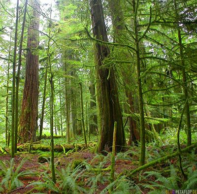 Rainforest-Regenwald-Douglas-Fir-Fichten-Mac-Millan-Provincial-Park-Cathedral-Grove-Vancouver-Island-BC-British-Columbia-Canada-Kanada-DSCN2939.jpg