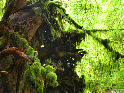 Rainforest-Regenwald-Douglas-Fir-Fichten-Mac-Millan-Provincial-Park-Cathedral-Grove-Vancouver-Island-BC-British-Columbia-Canada-Kanada-DSCN2941.jpg