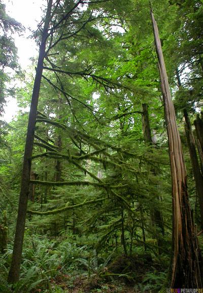 Rainforest-Regenwald-Douglas-Fir-Fichten-Mac-Millan-Provincial-Park-Cathedral-Grove-Vancouver-Island-BC-British-Columbia-Canada-Kanada-DSCN2964.jpg