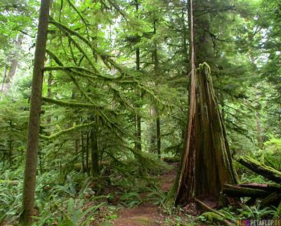 Rainforest-Regenwald-Douglas-Fir-Fichten-Mac-Millan-Provincial-Park-Cathedral-Grove-Vancouver-Island-BC-British-Columbia-Canada-Kanada-DSCN2965.jpg